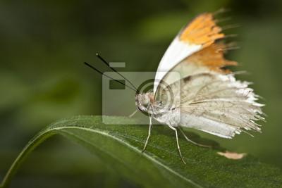 Papillon blanc Orange
