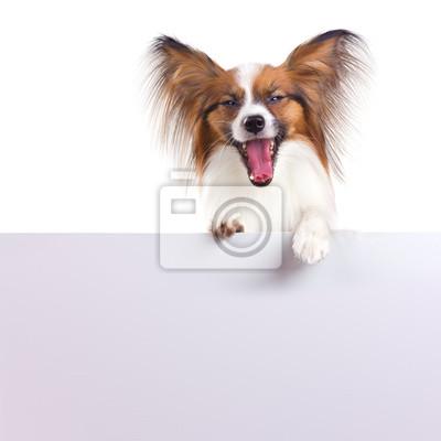 Papillon Hund