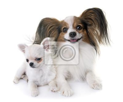 Fototapete Papillon Hund Und Chihuahua