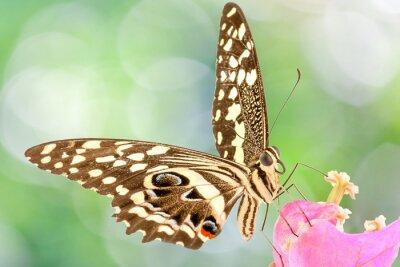 Fototapete Papillon sur fleur de bougainvillée