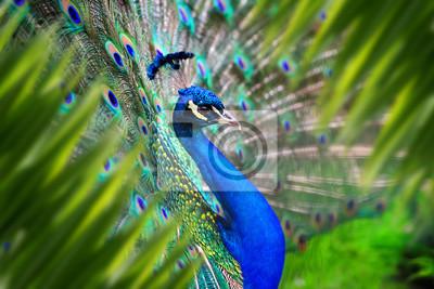 Fototapete Peacock portrait in jungle