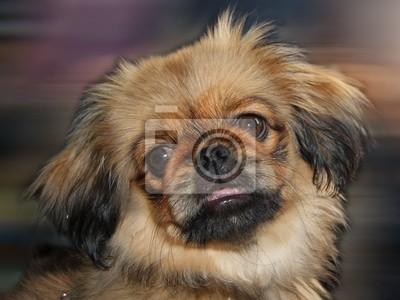 Fototapete Pekinese Hund