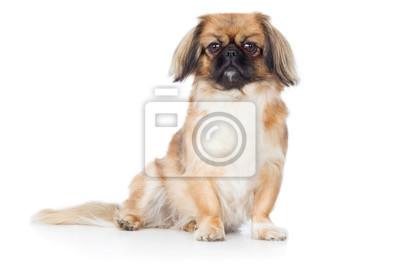 Fototapete Pekinese Hund Rassehund Klein Sitzt Und Guckt Aufmerksam Frontal