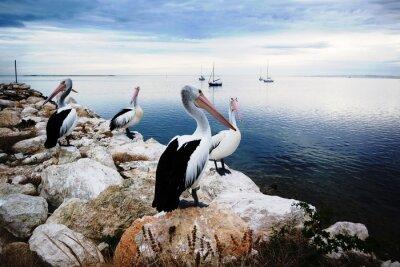 Fototapete Pelikane, Känguruh-Insel, Australien