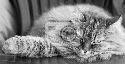 Pelz Sibirische Katze Auf Dem Stuhl Liegen Fototapete Fototapeten