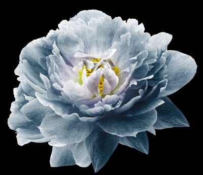Fototapete Peony flower blue on the black isolated background with clipping path. Nature. Closeup no shadows. Garden flower.
