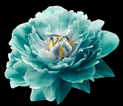 Fototapete Peony flower turquoise on the black isolated background with clipping path. Nature. Closeup no shadows. Garden flower.