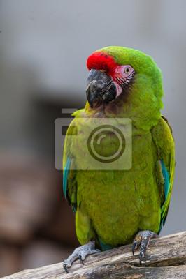 Perroquet ara militaire