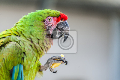 Perroquet ara militaire en train de manger