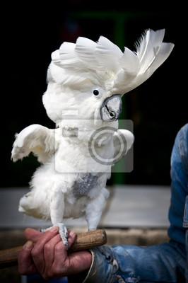 Perroquet cacatoès blanc huppe déployée