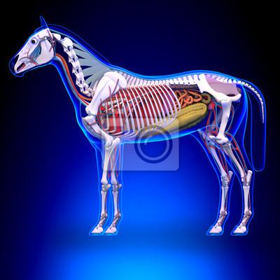 Pferd anatomie - innere anatomie des pferdes fototapete ...