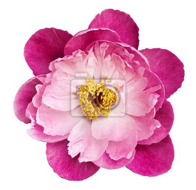 Pfingstrose blume rosa-karminrot auf einem weißen hintergrund ...