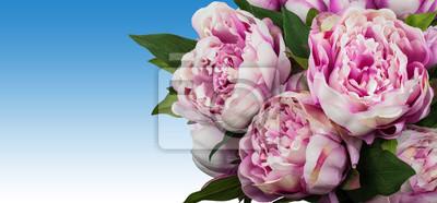 Pfingstrosen Rosa Pfingstrose Blumen Auf Blauem Hintergrund