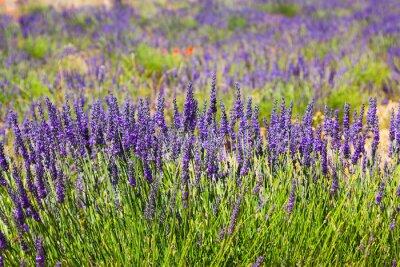 Fototapete Pflanze des blauen Lavendels