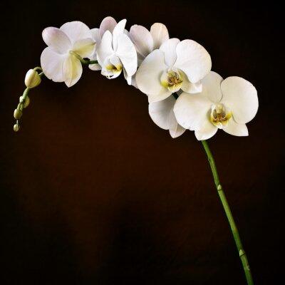 Fototapete Phalaenopsis aphrodite Orchidee