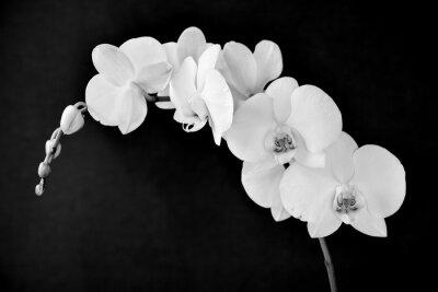 Fototapete Phalaenopsis aphrodite Orchidee, in schwarz und weiß