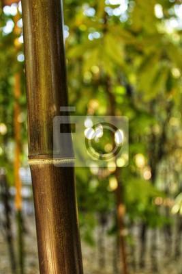 Phyllostachys Nigra Schwarzer Bambus Im Garten Valencia Fototapete