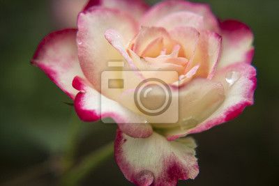 Pink And White Roses In The Garden Tropical Rose Garden Fototapete