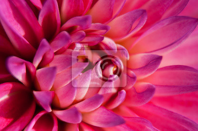 Fototapete Pink Dahlia flower with close up macro view
