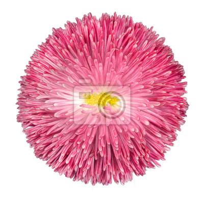 Pink daisy blume mit gelben center isolated on white fototapete ...