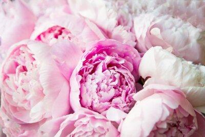 Fototapete Pink peonies blossom background. Flowers.