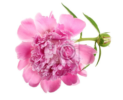 Pink Peony Flower Isolated On White Background Close Up Fototapete