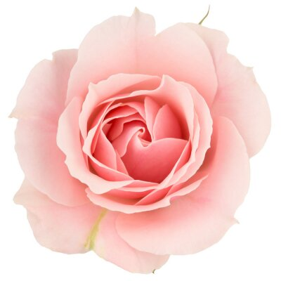 Fototapete Pink rose close up, isolated on white