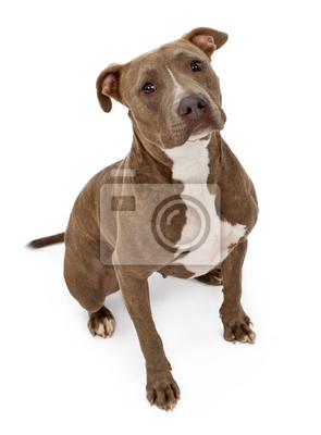 Fototapete Pit Bull-Hund mit dem unschuldigen Blick