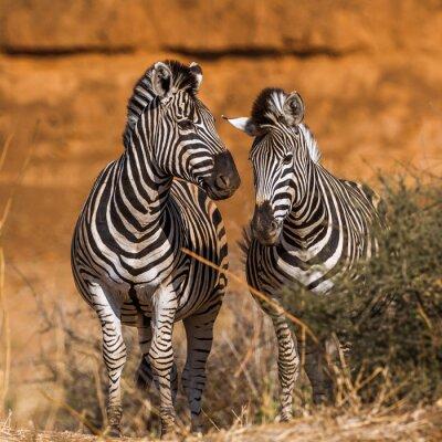 Plain zebra in Kruger National park, South Africa ; Specie Equus quagga burchellii family of Equidae