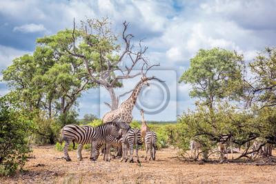 Plains zebra in Kruger National park, South Africa