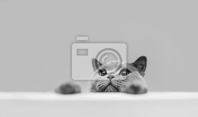 Fototapete Playful grey purebred cat peeking out.