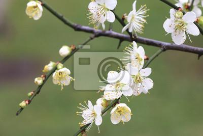 Plum Flowers Blooming In The Garden In Spring Fototapete