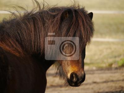 Pony Mit Ponyfrisur Fototapete Fototapeten Isländer Gefieder