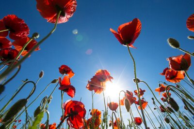 Fototapete Poppy flower