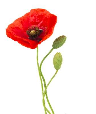Fototapete Poppy flowers