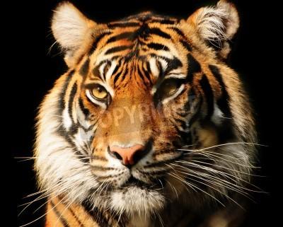 Fototapete Portait of a majestic Sumatran tiger over black