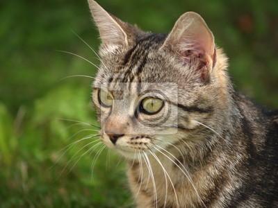 Portrait animalier / chat tigré
