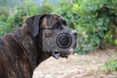 Portrait Chien Cane Corso Dans Les Vignes Fototapete Fototapeten