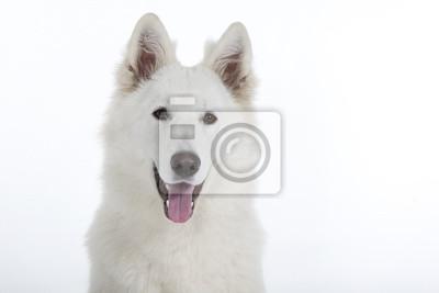 portrait d'un berger blanc suisse au Hinblick Franken