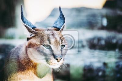Portrait d'un caracal