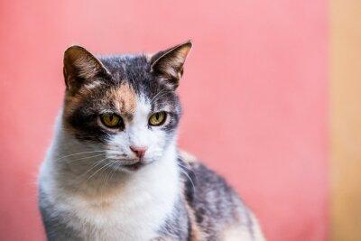 Portrait d'un chat tigré et blanc sur un fond mur rose