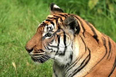 Portrait d'un de Tigre Sibérie