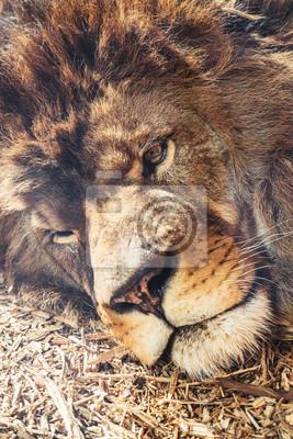 Portrait d'un lion