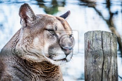 Portrait d'un puma