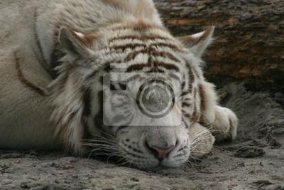 Portrait d'un tigre blanc
