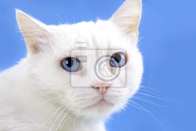 Portrait de beau chat blanc aux yeux bleus
