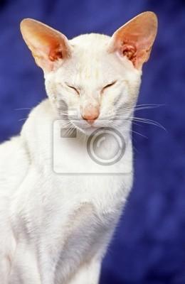 portrait de chat blanc orientalischen les yeux fermés