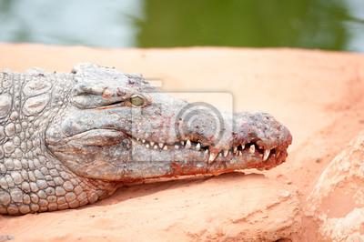 Portrait de crocodile du Nil