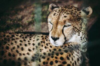 Portrait de guépard