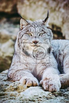 Portrait de lynx du Canada